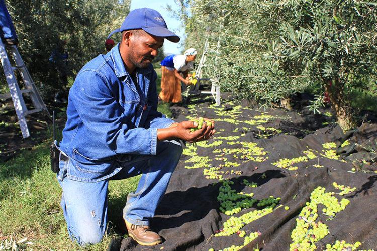 Harvesting of Olives