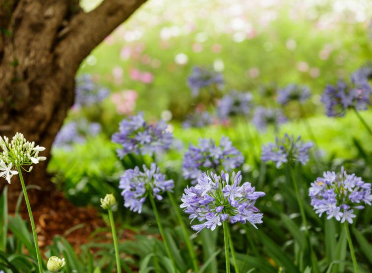 Blue Lily Plants