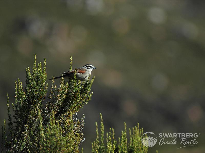 Cape bunting: Meiringspoort Animal Life